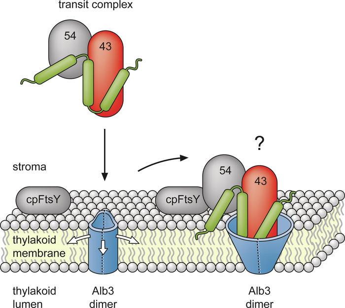 Lichtsammler an Ort und Stelle bringen: Wie Photosyntheseproteine in ...