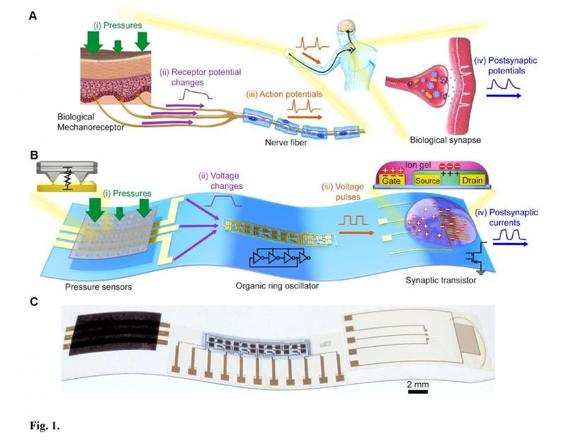 Flexible organic electronics mimic biological mechanosensory nerves