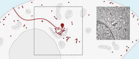 Live-Verfolgung in der Zelle: Biologische Fussfessel für Proteine