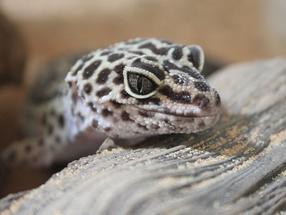 Winzige Lichtdetektoren funktionieren wie Gecko-Ohren