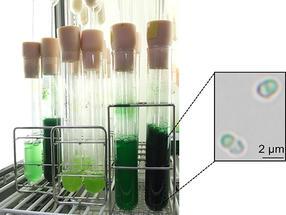 """Ein """"Schalter"""" zur Erhöhung der Stärkeakkumulation in Algen"""