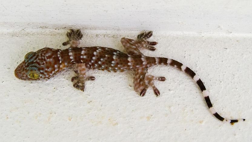 Warum Geckos an Wänden haften können