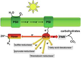 Efficient production of hydrogen by algae