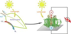 """Proteins that replace silicon: A semi-artificial leaf faster than """"natural"""" photosynthesis"""