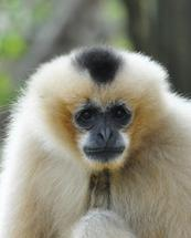 Gibbon genome sequenced