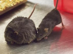 Mice and men share a diabetes gene