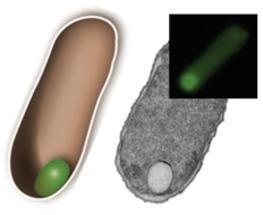 Vom Bakterium zur Biofabrik: Vorherrschende Annahme widerlegt