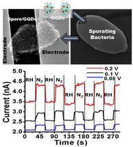 Graphene quantum dots deposited on a sporating bacteria