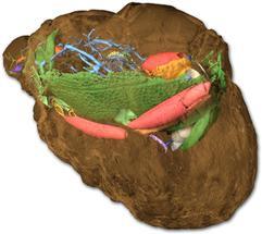 30 Millionen Jahre alten Käfer mit Röntgenstrahlen durchleuchten