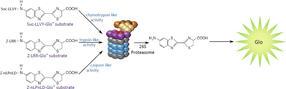 Proteasom-Aktiviät