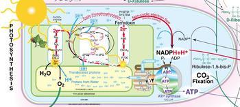 Vue détaillée : photosynthèse