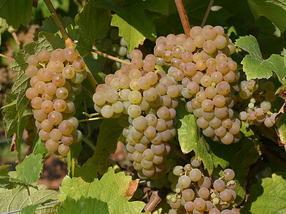Nächste Rebsorten-Generation für nachhaltigen Weinanbau ist am Start