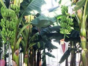 Sustainable bananas in greenhouses: first 'Dutch bananas' harvested