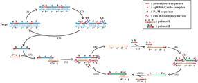 Kopieren leicht gemacht: Eine universelle isotherme Methode zur Amplifikation von DNA