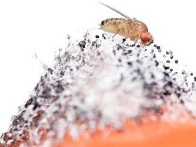 Ein abstoßender Geruch vermindert die Wahrnehmung eines attraktiven Dufts in Essigfliegen.