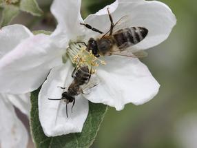Eine Honigbienenarbeiterin und eine männliche Sandbiene auf einer Apfelblüte