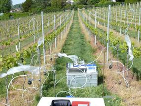 Fragrance collection on vines for behavioral experiments with grape moth