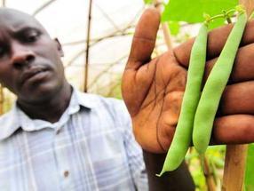 Eine genetische Auswahlmethode hilft afrikanischen Züchtern Bohnen weiterzuzüchten, die gegen einen Pilz resistent sind.