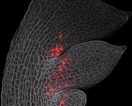 Selbsthemmende Gene ermöglichen neue Formen