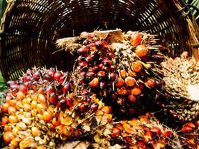 Palmöl-Check: Fleisch bleibt Brandbeschleuniger bei Waldzerstörung