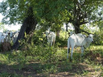 Bei den deutsch-brasilianischen Forschungsprojekten stehen unter anderem die hellhäutigen Nelore-Rinder im Fokus. Dabei wird untersucht, welche Vorteile die Tierhaltung in schattigen Wäldern bringt.