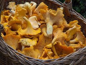 Chanterelle mushrooms as a taste enhancer