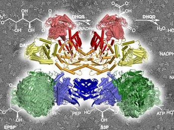 Die zehn Enzymkomponenten im AROM Komplex bei der Arbeit. Sie katalysieren die im Hintergrund skizzierten chemischen Reaktionen.