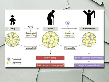 With age the frequency of adipose tissue eosinophils decreases gradually. This leads to the production of inflammatory mediators, which promote age-related impairments (e.g. frailty and immunosenescence). Eosinophil cell transfers increase the frequency of these cells in adipose tissue and dampen age-related chronic low-grade inflammation. This results in systemic rejuvenation of the aged organism.
