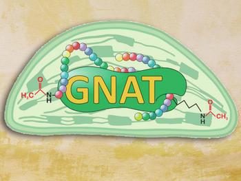Forscher entdeckten in den Chloroplasten von Pflanzenzellen (Mitte) eine neue Familie bestimmter Acetyltransferasen (GNAT). Die Enzyme können zwei verschiedene Acetylierungen an Proteinsequenzen (bunte Ketten aus Aminosäuren) antreiben.
