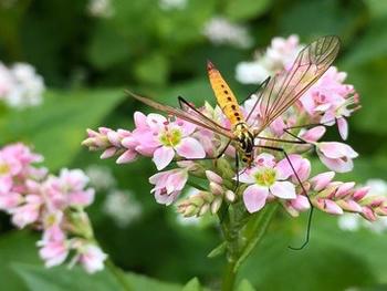 Auf den Versuchsfeldern der Universität Hohenheim steht der Buchweizen in voller Blüte und zeigt, wie das Trendlebensmittel den Landwirten zusätzliche Einkommen erschließt und gleichzeitig die Artenvielfalt erhöht.