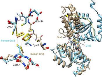 Bindung der Kofaktoren Glutathion (GSH) in den beiden Klassen der Glutaredoxine (links). Diese unterschiedliche Bindung hat eine große Änderung der 3-dimensionalen Struktur zur Folge (rechts), welche die unterschiedlichen Funktionen der Protein