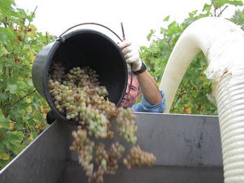 Gutes Weinaroma hängt auch von der Bakterienbesiedelung ab. Das könnte man künftig nutzen, meinen Wissenschaftler der Universität Hohenheim.