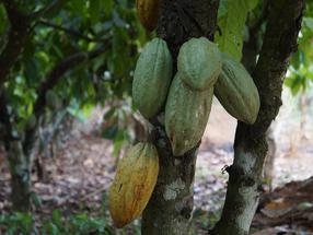Aumento del trabajo infantil peligroso en la producción de cacao en medio de una expansión de la agricultura de cacao