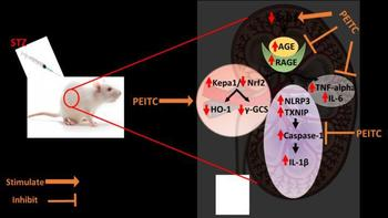 schematic illustrating how PEITC treatment affected induced nephropathy in rats by modulating glycative stress, oxidative stress and inflammatory pathways.