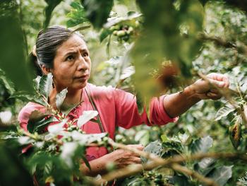 Kaffeeernte bei der Fairtrade-Kooperative Cenfrocafè in Peru