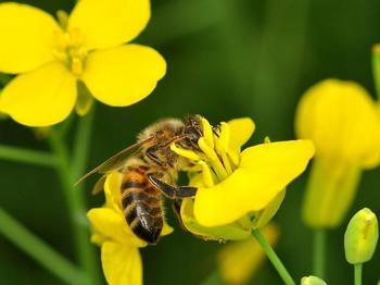 Raps ist bei Honigbienen beliebt.