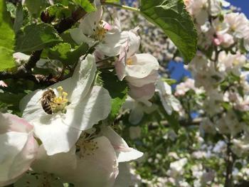 Honigbiene auf Apfelbaumblüte