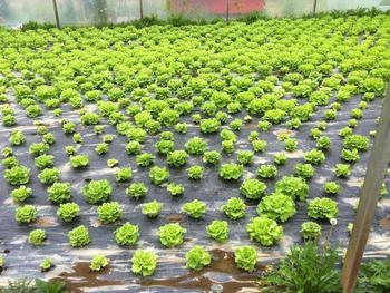 Ein produktiver Salatertrag nach der neuen Biodesinfektionsmethode der Forscher.