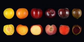 Localized the gene for red-to-blue plum skin
