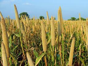 Hirse-Biodiversität verspricht nachhaltigere Landwirtschaft