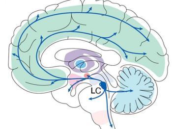 Der Locus Coeruleus liegt tief im Gehirn, projiziert aber Schaltkreise in das gesamte Organ.