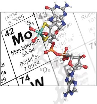Molybdän ist ein Metall, das für viele technische Anwendungen benötigt wird. In der Zelle kommt es in Form des Molybdäncofaktors vor, dessen Vorstufe hier farbig dargestellt wird. Der Mechanismus, durch den Molybdän in diese Vorstufe eingebaut wird, war lange Zeit unbekannt.