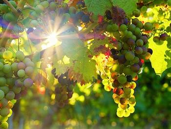 Application of AI based measurement systems for the characterization of raw materials in viticulture
