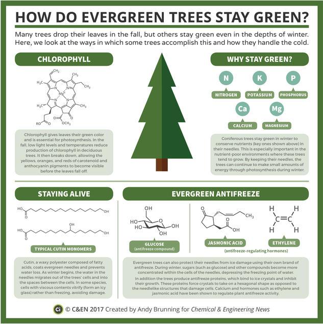 How Do Evergreen Trees Stay Green? – In C&EN