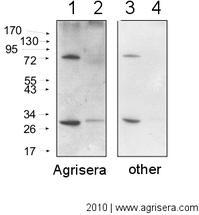 AgriSera-WesternBlot-Abb6